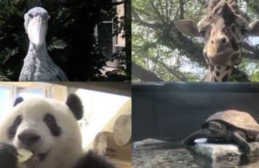 【会議室zoo】動物園の場所は?ZOOMでオンライン会議をする動物達が話題に(シャンシャンも)